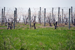 Vineyards at Sheldrake Point — still looks like winter.