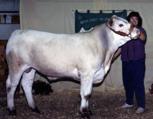 Me showing my white Simmental steer for 4-H. He weight 1250 lbs and that year I won the weight gain trophy.